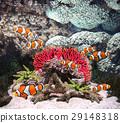 Sea corals and clown fish 29148318
