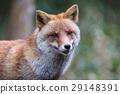 여우, 개과, redfox 29148391