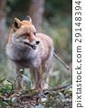 狐狸 犬科的 動物園 29148394