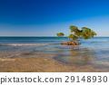 Mangroves at caribbean seashore 29148930