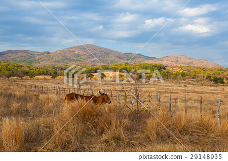 Farm animals on pasture on Trinidad countryside 29148935