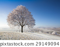 Snow and hoarfrost covered trees  29149094