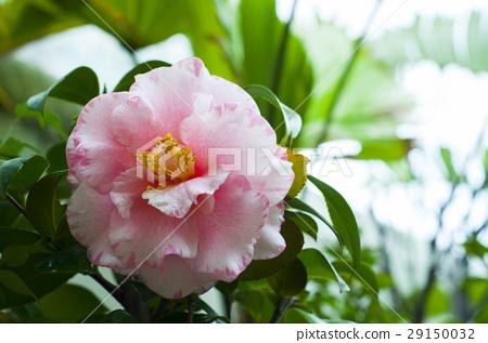 花卉,花,花,茶花,春天,茶花,三叉花,山茶花 29150032