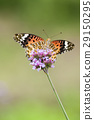 印度貝母蝴蝶 蝴蝶 紫色上衣馬鞭草 29150295