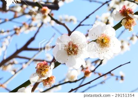 白櫻藍天春天美麗 29151354