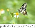 凤蝶 蝴蝶 花朵 29152573