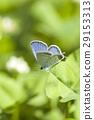 短尾藍色 灰蝶 蝴蝶 29153313