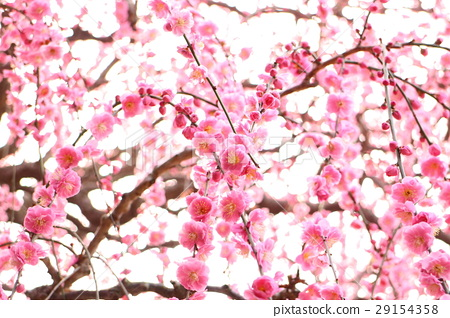Dangling plum blossom plum 29154358