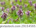 紫色死荨麻 唇形科象草 草地 29154565