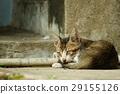 貓 29155126