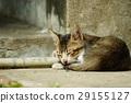 貓 29155127