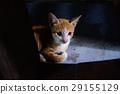貓 29155129