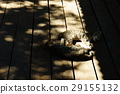 貓 29155132