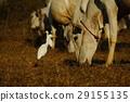 一頭牛 29155135