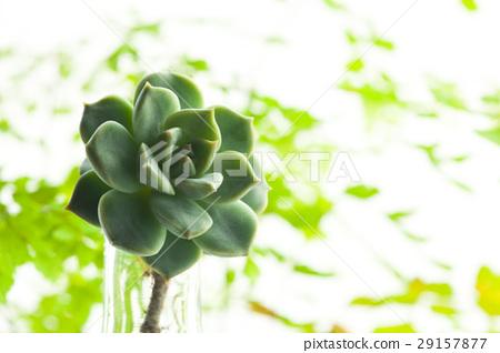 白牡丹,多肉植物,花卉,肉類植物,白牡丹,多肉植物,花卉, 29157877