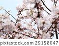 樱花 樱桃树 盛开 29158047