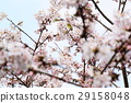樱花 樱桃树 盛开 29158048
