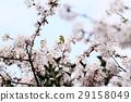 樱花 樱桃树 盛开 29158049