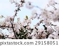 樱花 樱桃树 绣眼鸟 29158051