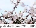 樱花 樱桃树 盛开 29158085