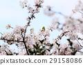 樱花 樱桃树 盛开 29158086