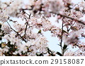 樱花 樱桃树 盛开 29158087