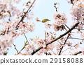 樱花 樱桃树 鸟儿 29158088