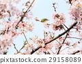 樱花 樱桃树 花朵 29158089