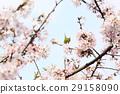 樱花 樱桃树 花朵 29158090