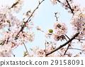 樱花 樱桃树 盛开 29158091