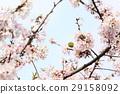 樱花 樱桃树 盛开 29158092