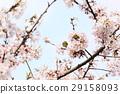 樱花 樱桃树 盛开 29158093