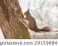 animal squirrel tree 29159684