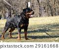 beautiful rottweiler dog posing 29161668