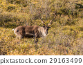 Barren Ground Caribou Bull in Velvet 29163499