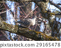 Pheasant butterfly and plum tree 29165478