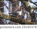 oriental turtle dove, rufous turtle dove, wild bird 29165478