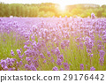 field, lavender, purple 29176442