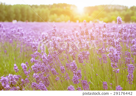 Sunset over a summer purple lavender field . 29176442