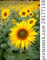 向日葵 太陽花 花朵 29177138