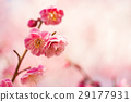 梅 花朵 花卉 29177931
