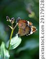昆虫 蝴蝶 桦斑蝶 29179528