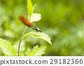 豆娘 蜻蜓 色蟌科 29182366