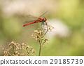 夏赤蜻 蜻蜓 蜻蜓眼 29185739