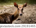 Portrait of deer from Thailand 29191465