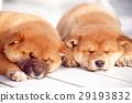 可愛的小狗 29193832