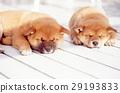 可愛的小狗 29193833