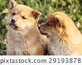 可愛的小狗 29193878