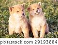可愛的小狗 29193884