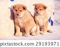 可愛的小狗 29193971
